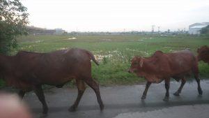 ハノイ郊外(水牛)